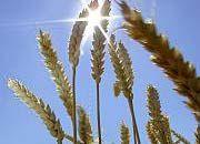 Weizen: Experten rechnen mit einer guten Ernte