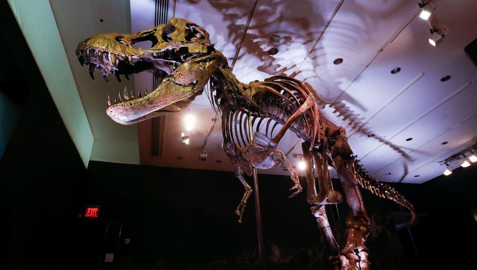 T-Rex Stan: Rekonstruktion der 188 Knochen dauerte drei Jahre. Der Käufer benötigt eine großzügige Eingangshalle