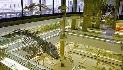 Wale: Bei den Treffen der Apostel werden Sardinen auf Toast gegessen. Skelette von echten Walen findet man hingegen im Zoologischen Museum. Dieses und alle weiteren Bilder: Benedikt Mandl, Cambridge