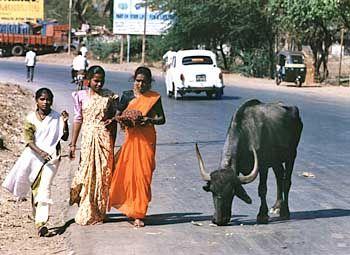 Geschütztes Tier: Kühe sind in Indien heilig