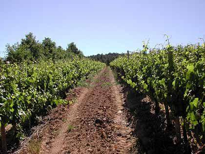 Der gute Ruf südafrikanischer Weine ist etabliert: Weinstöcke von L'Ormarins