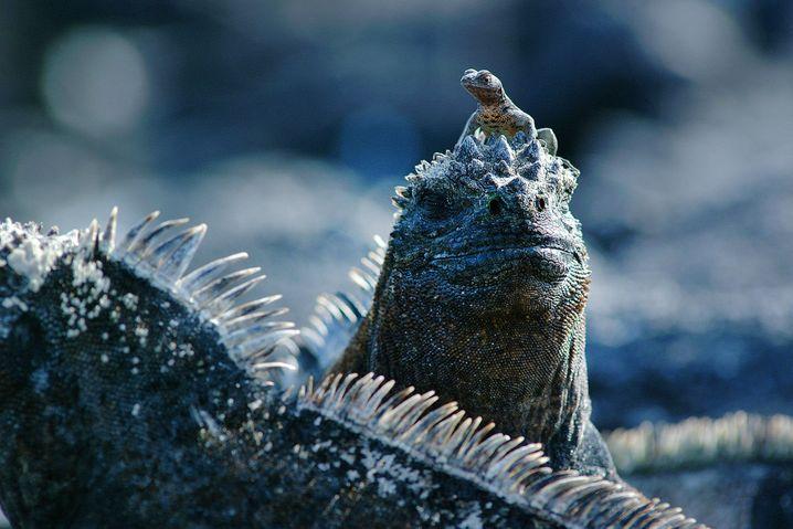 Auf den Galapagos-Inseln ziehen nicht nur die Vulkane die Blicke auf sich, sondern auch die Galapagos-Meerechsen