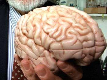 Bildet lebenslang neue Zellen: Das menschliche Gehirn