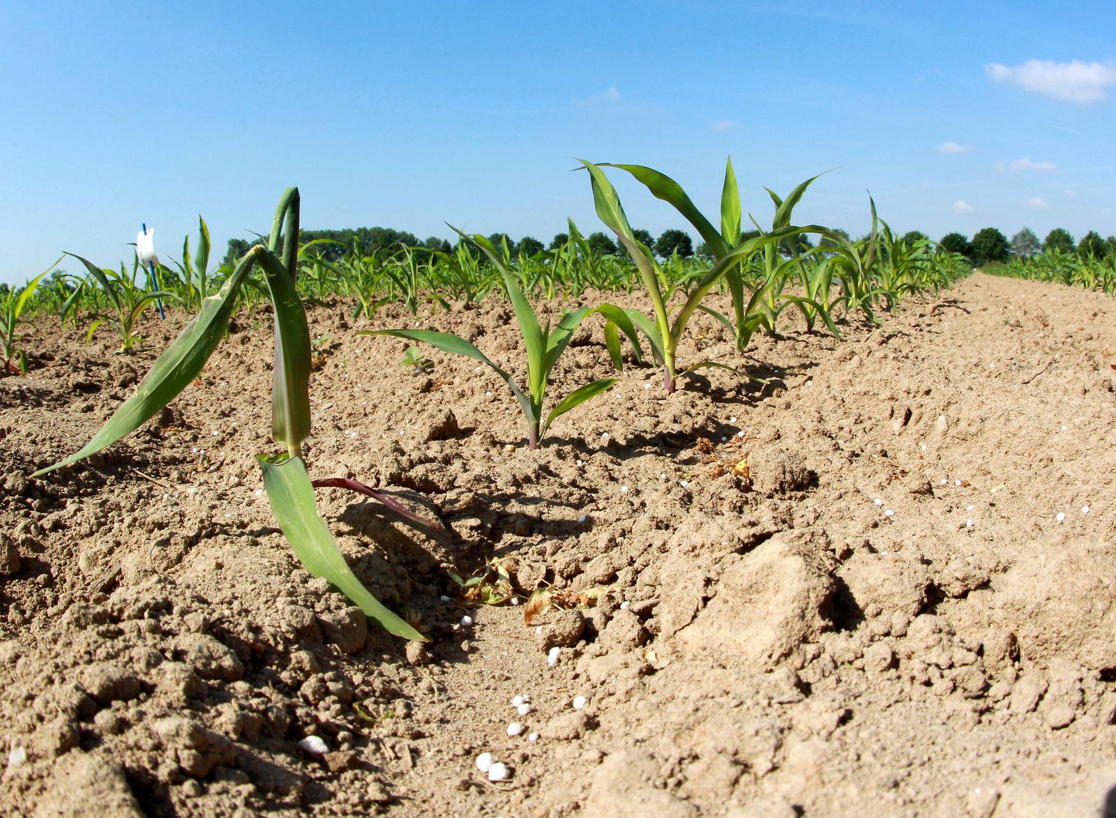 Dürre / Trockenheit / Ernte / Mais