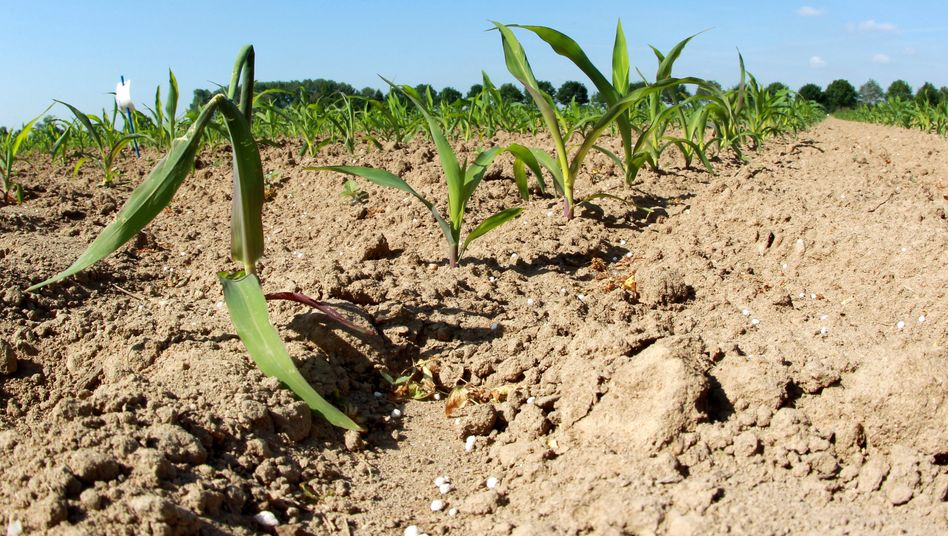 Maisfeld: In vielen Gebieten der USA hat es seit acht Wochen nicht mehr richtig geregnet