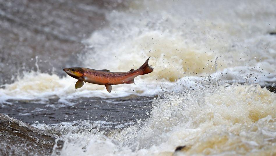 Wilder Lachs in Schottland: Im Januar waren die britischen Lachsexporte in die EU um 98 Prozent geringer als im Vorjahresmonat
