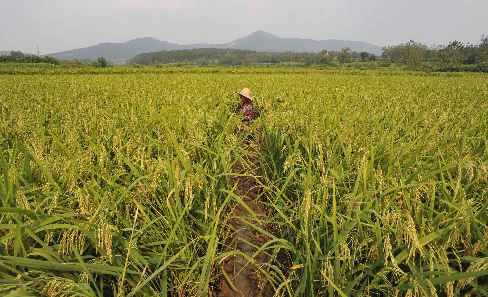 Reisanbau / China / Landwirtschaft