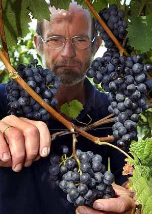 Ernte: Rote Trauben für Dornfelder
