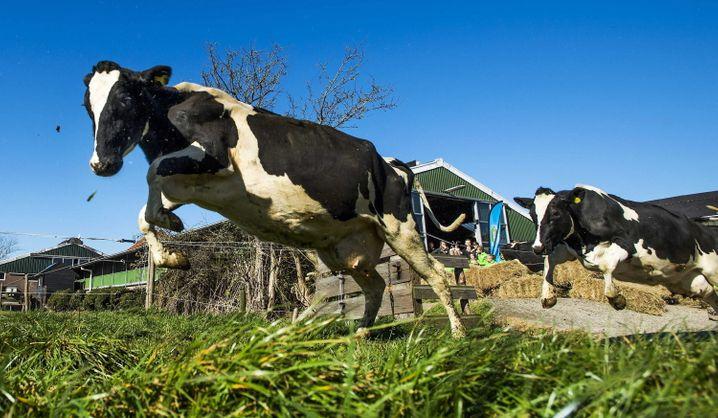 Glückliche Kühe: Nachhaltig, regional und gute Qualität sollte es für die Gutbürger sein