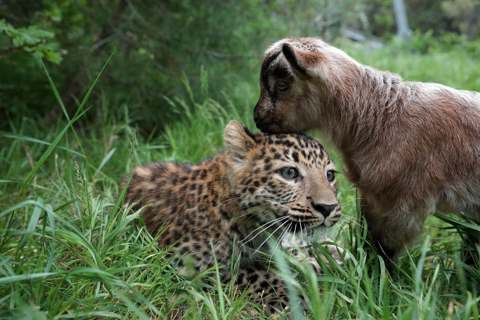 Leopard und Bergziege