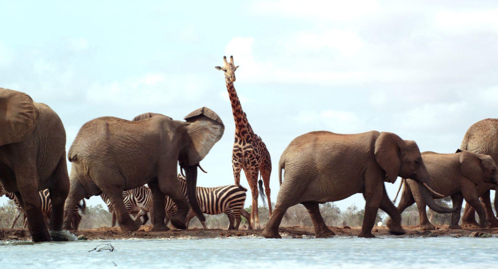 EINMALIGE VERWENDUNG TV/ The Elephant Queen