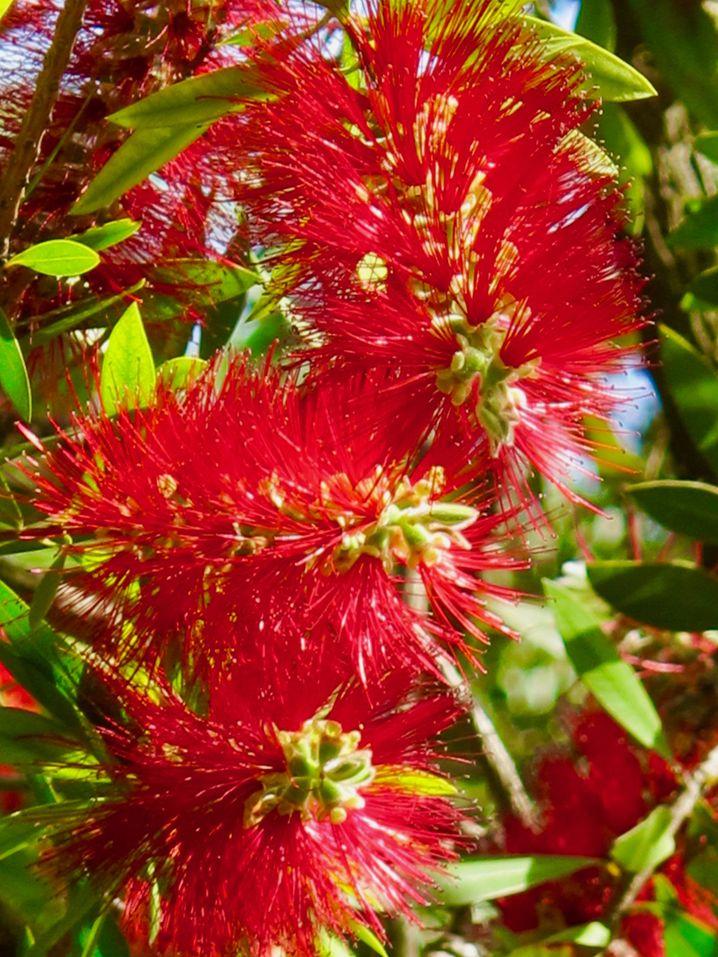 Im Sommer erstrahlen die Pfeiffenputzersträuche im Real Jardin Botanico von Madrid in einem satten Rot.