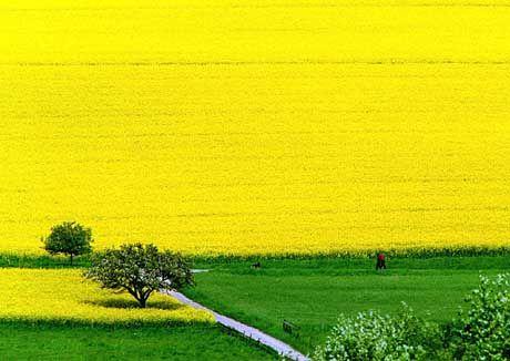 Blühendes Rapsfeld: Die Biodiesel-Aktie avanciert zum Börserenner