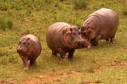 Nilpferde: Die Dickhäuter sind auf dem Weg zum Mara-Fluss