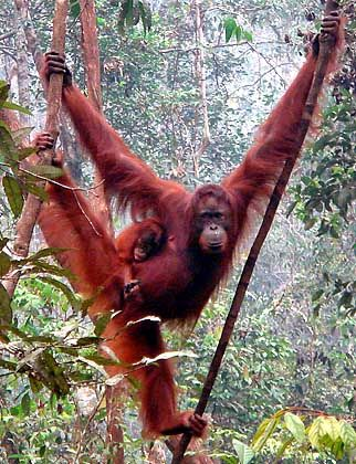 Bedrohte Art: Iin der Nähe von Camp Leakey im indonesischen Teil Borneos sind noch viele Orang-Utans mit ihren Jungen anzutreffen