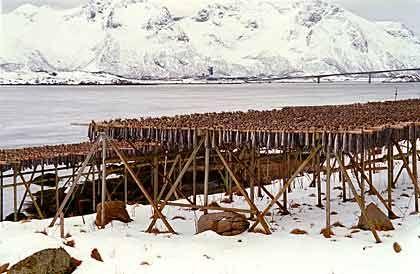 Stockfisch:Trockengestelle sieht man noch heute überall - und man riecht sie. Auf den Holzgestellen trocknet eines der wichtigsten wirtschaftlichen Güter der Insel.