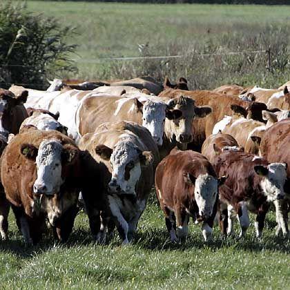 Fleischkonsum: Ein Drittel allen Getreides der Welt wird verfüttert