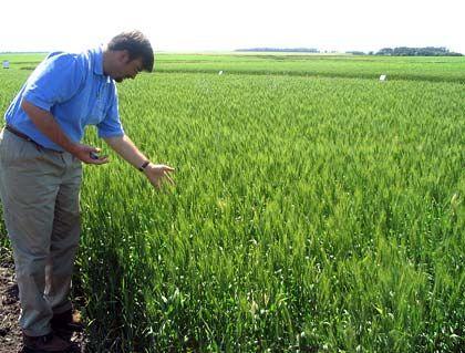Weizenfeld in North Dakota: In den USA strengen Farmer eine Klage gegen Monsanto an