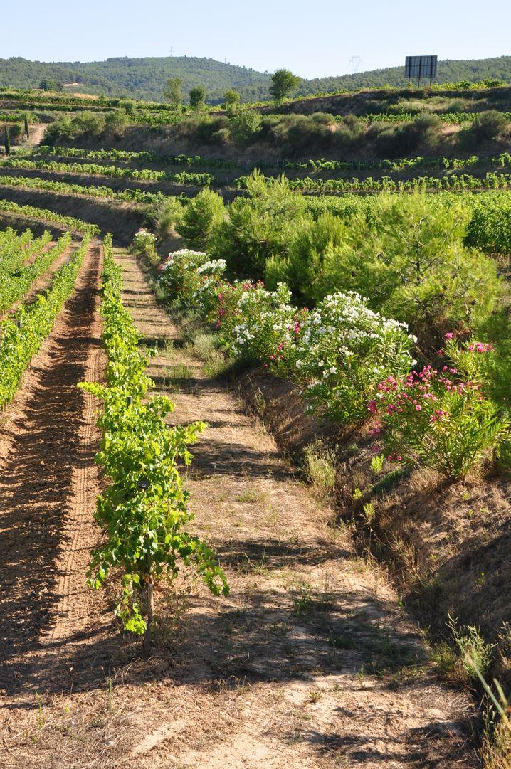 In den Weinbergen der Bio-Bodega Albet i Noya blüht es auch zwischen den Reben.
