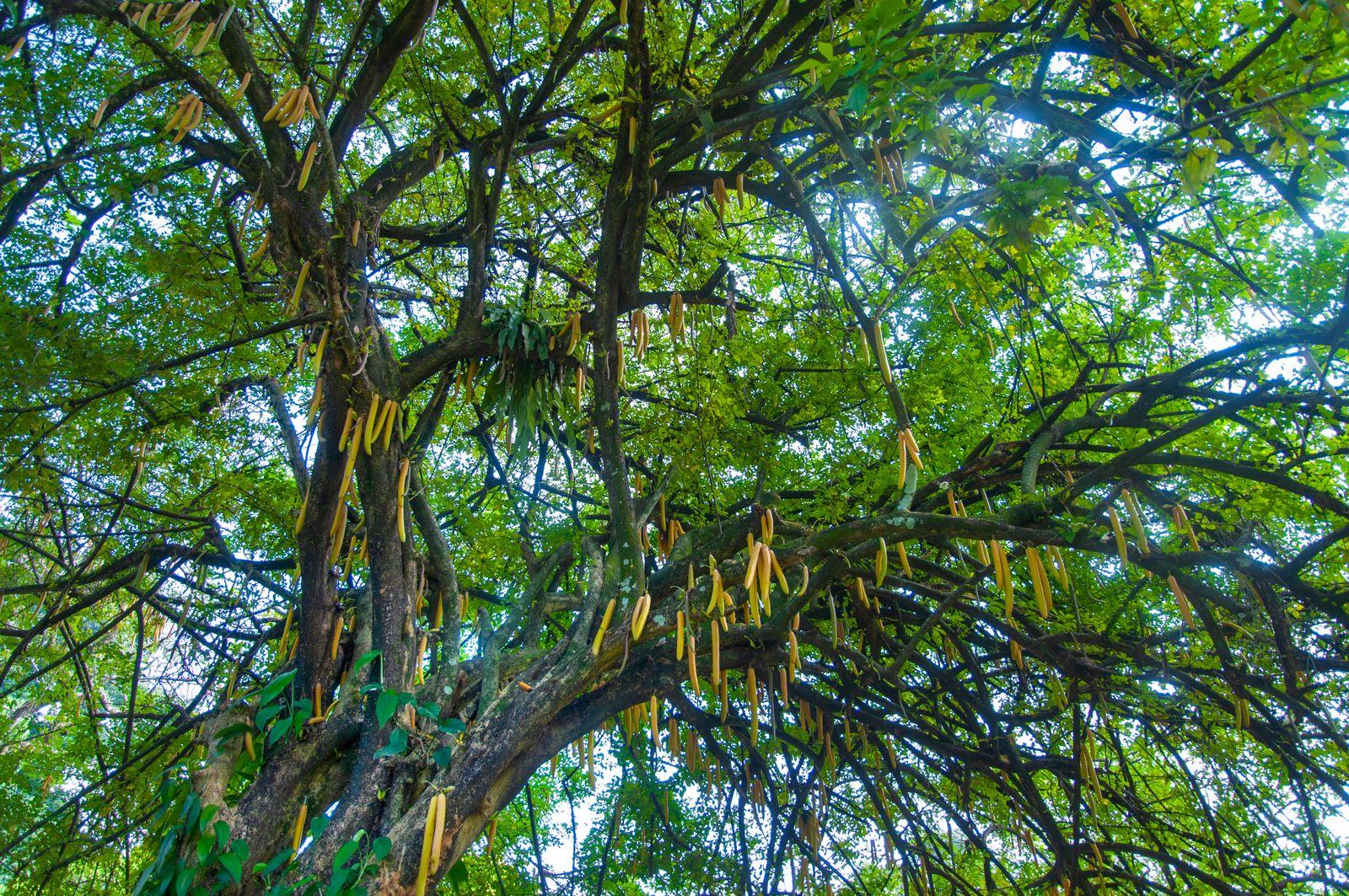 Tropical green plant of Horseradishtree (Moringa oleifera)