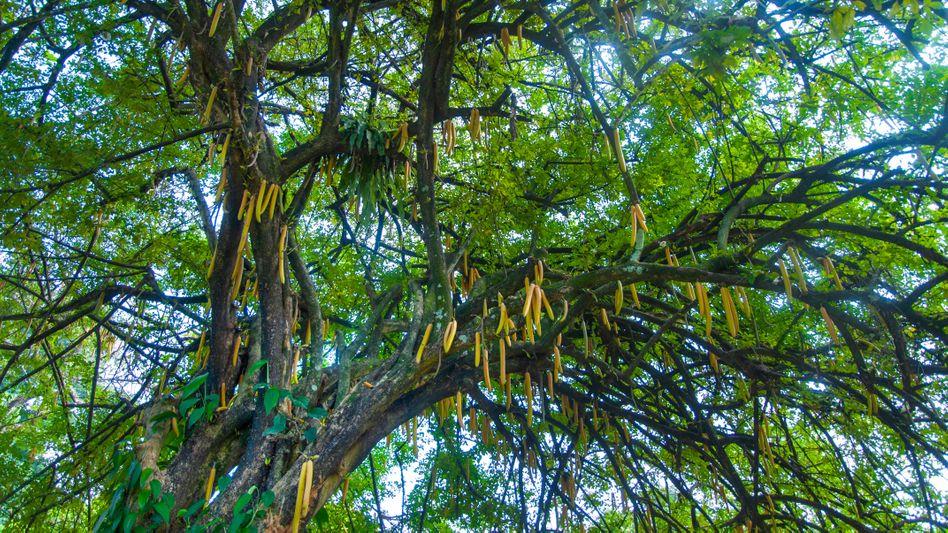 Moringa-Baum