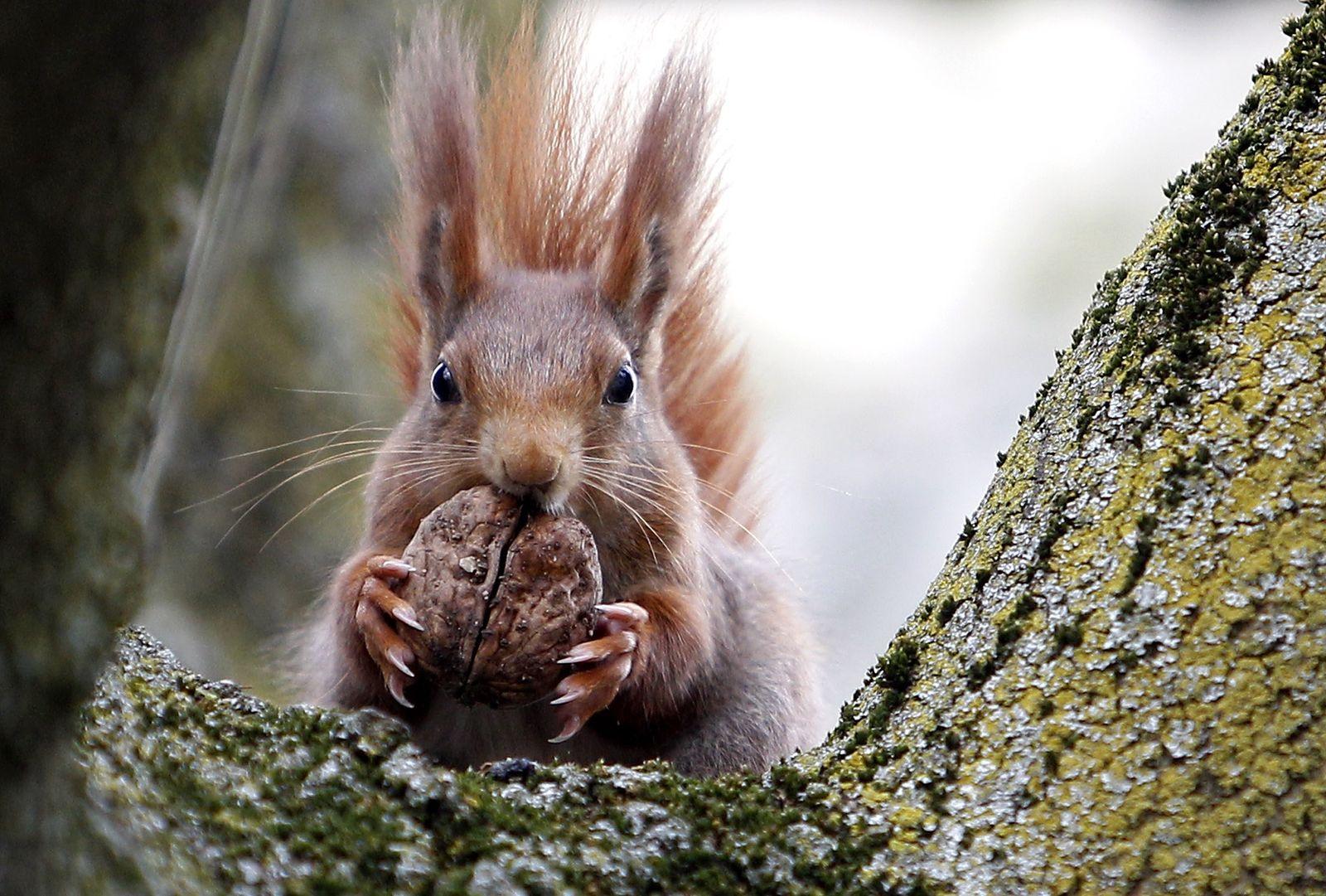Eichhörnchen/ GERMANY