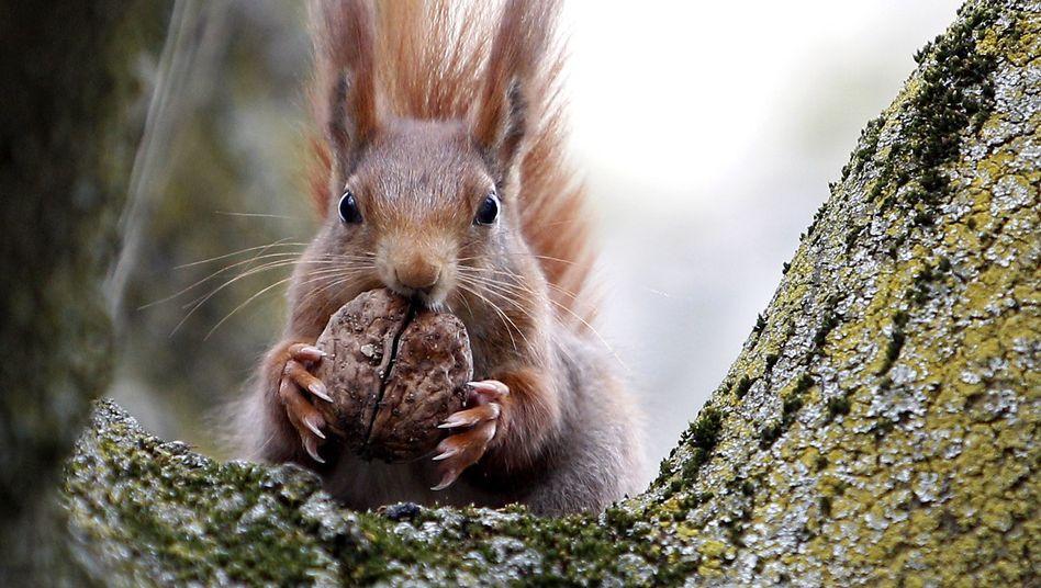 Nüsse sammeln und vergraben - und viele wieder vergessen: Die Eichhörnchen-Strategie ist für deutsche Sparer fatal. Wir exportieren unsere Ersparnisse ins Ausland - und bekommen dafür im besten Fall zu Nullzinsen