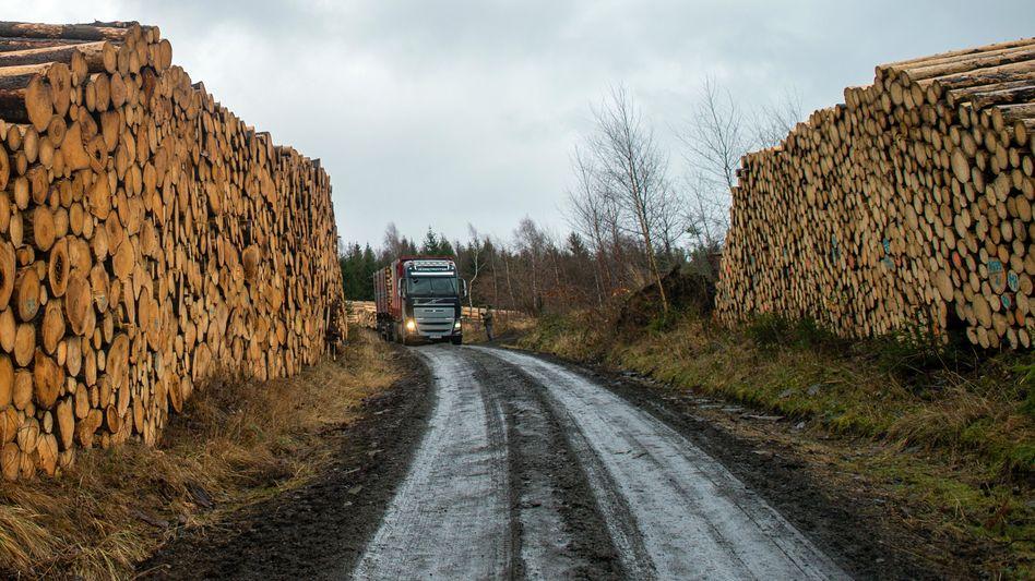 Mehr Holz: Gefällte Fichten bei Wernigerode in Sachsen-Anhalt