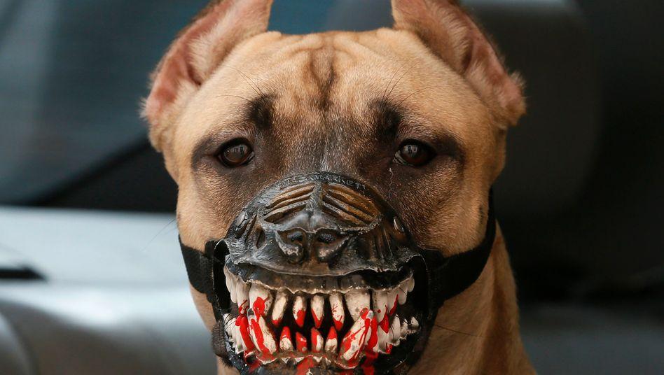 Der Hund sieht gefährlicher aus als er ist: Das Gebiss ist ein umgeschnallter Maulkorb