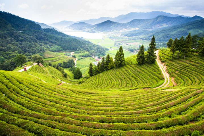 Gute Bedingungen für das Wachstum der Pflanzen: Der Raum Boseong im Südwesten Südkoreas ist das größte Teeanbaugebiet des Landes.