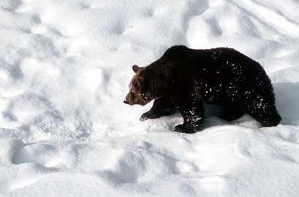 Schweizer Bär: Bisons, Bären und Wölfe sind im Juraparc Mont d'Orzeires zu sehen, der auf halbem Weg zwischen Vallorbe und dem Vallèe de Joux zu finden ist