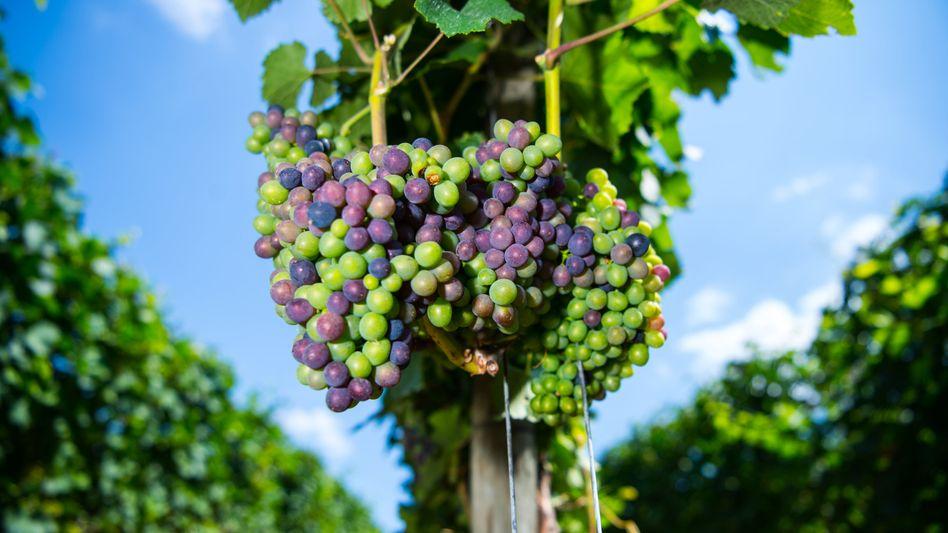 Vier Regen im Frühjahr, viel Sonne im Sommer: Im Vergleich zum Vorjahr dürften die Winzer rund 46 Prozent mehr Wein ein fahren