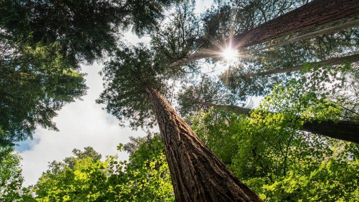 Ein Gefühl von Nordamerika: Küstenmammutbäume im Exotenwald Weinheim.