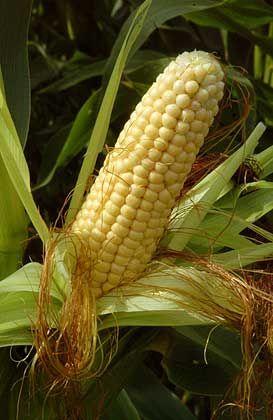 Ein Stück Unabhängigkeit: Biogas aus Mais könnte schon heute in das Erdgasnetz eingespeist werden