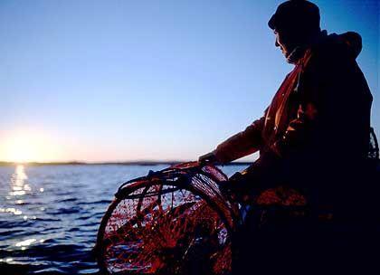 Fischer mit Hummerreuse: Kein Ausländer darf ohne schwedischen Beistand Hummer fischen