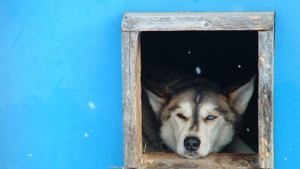 Huskys: Auf Schlittenhundtour in Brandenburg