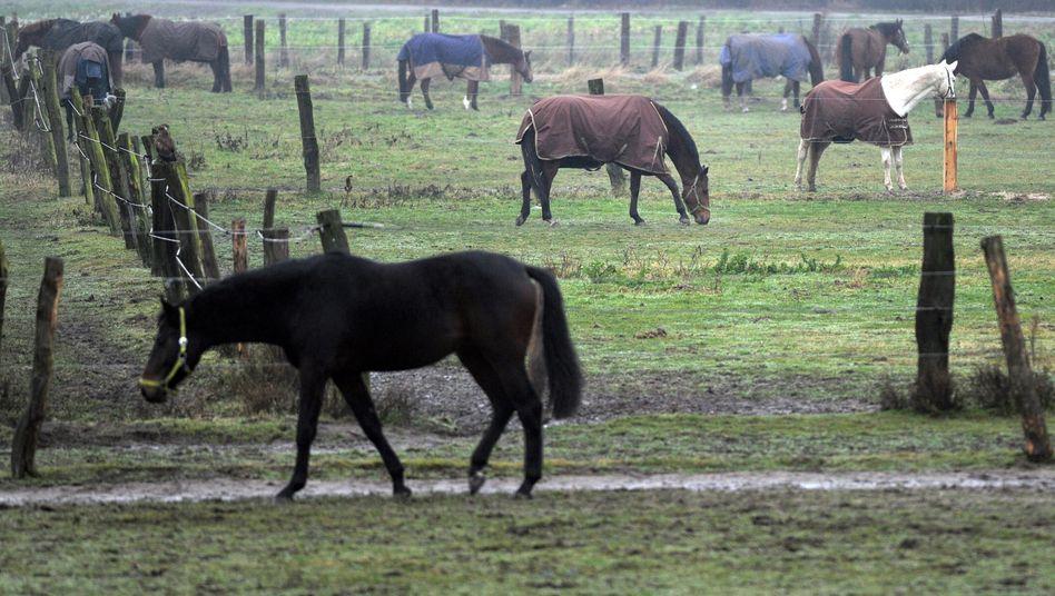 Pferde auf einer Weide: In Frankreich zeichnet sich ein neuer Skandal um das Fleisch der beliebten Tiere ab