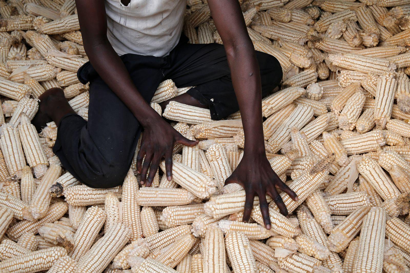 Boy gathering maize. Uganda