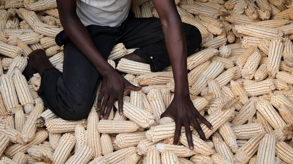Maisernte in Uganda