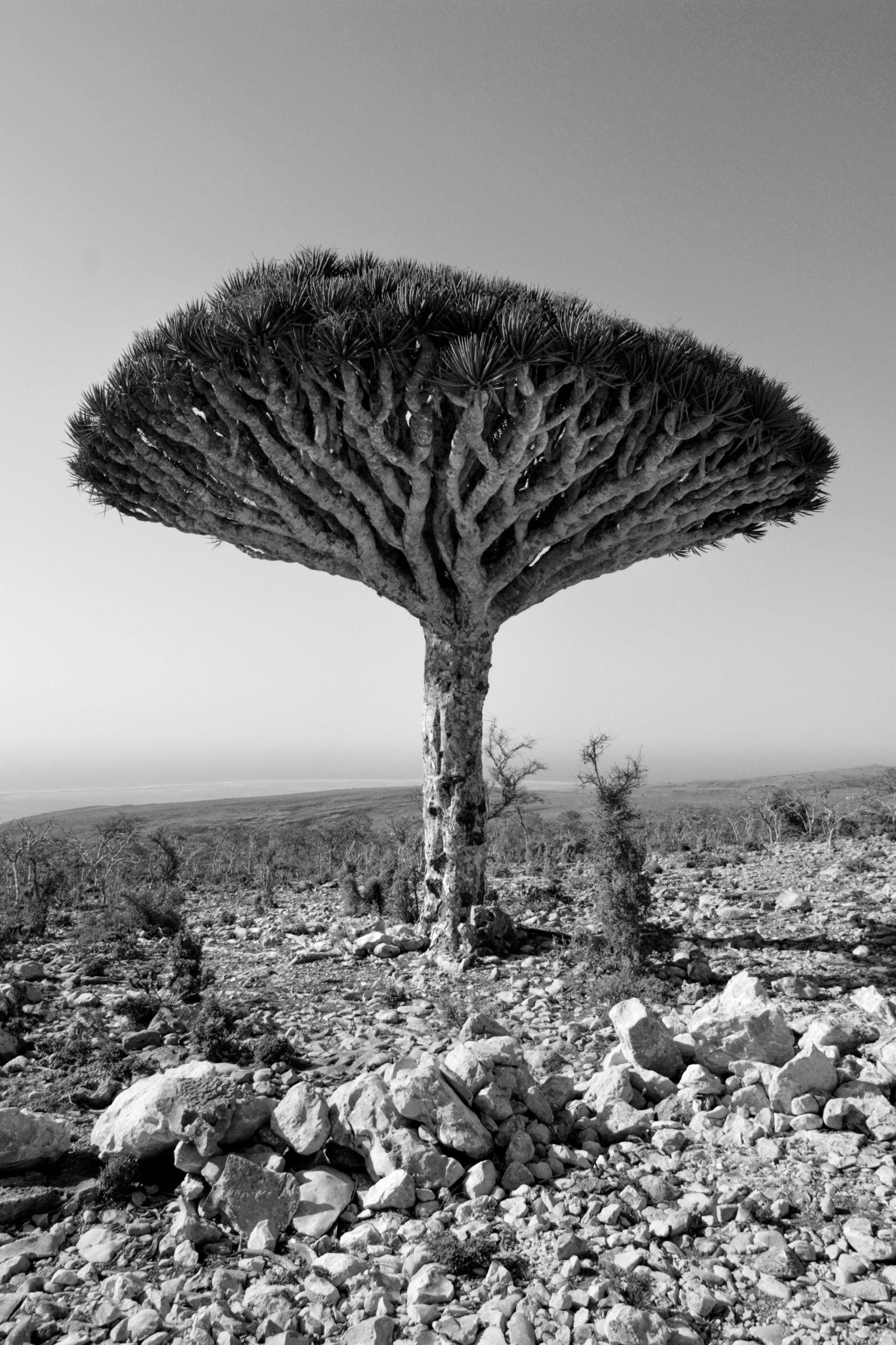 EINMALIGE VERWENDUNG Dragons Blood tree in Socotra Island