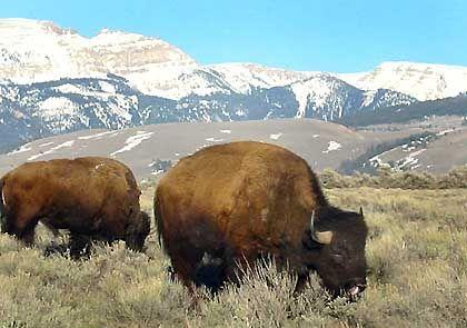 Delikatesse Bison: Treibt der Büffel-Burger die Preise?