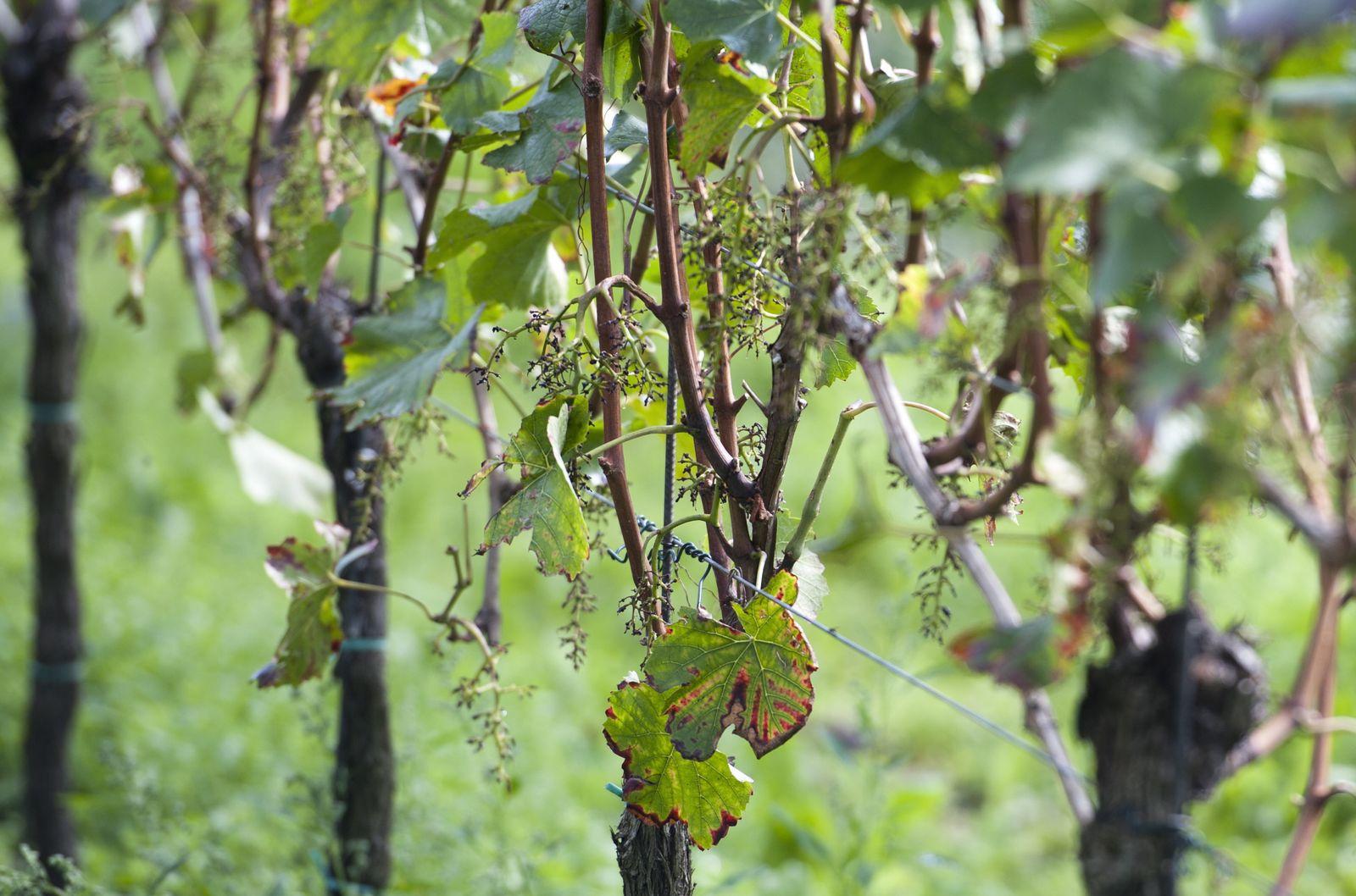 NICHT VERWENDEN Weintrauben geklaut