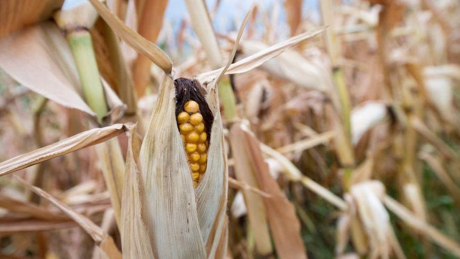 Vertrocknete Maispflanze: Die sichere Versorgung mit Lebensmitteln ist aufgrund der zunehmenden Extremwetter-Ereignissen nicht mehr gewährleistet