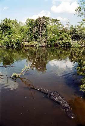 Der Herrscher der Feuchtgebiete: Die Zahl der Alligatoren in Florida wird auf etwa zwei Millionen geschätzt