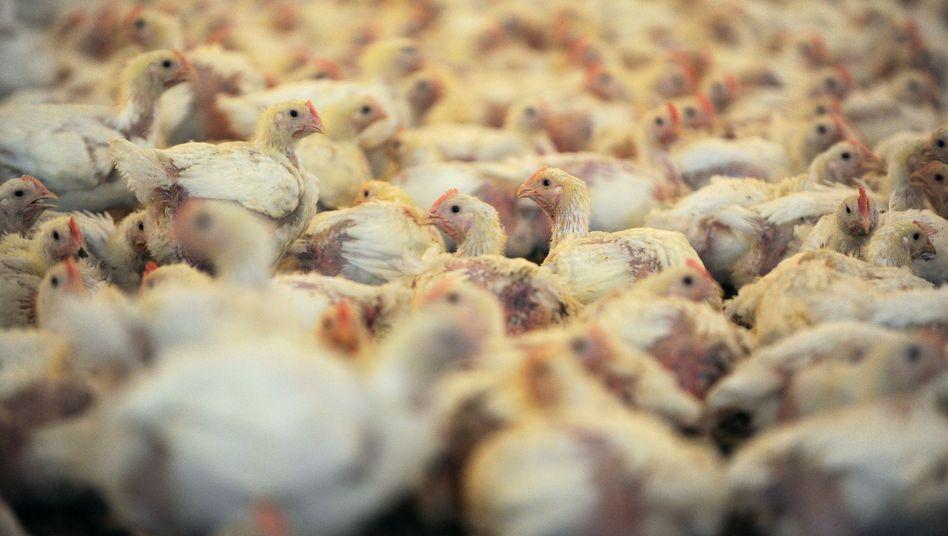Hühnerstall in der Nähe von Vechta: 30.000 Jungtiere in einem Stall