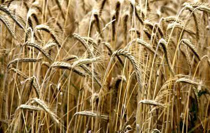 Der Weg zum Gewinn: Futures auf Rohstoffe bieten gute Chancen. Der Weizen als Nahrungsmittel rückt dabei in den Hintergrund.