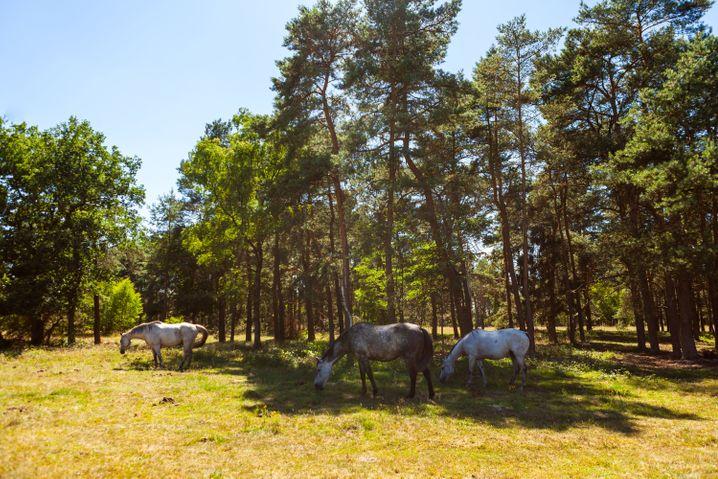 Senner Pferde: Den wilden Tieren können Urlauber in der Moosheide in Ostwestfalen begegnen.