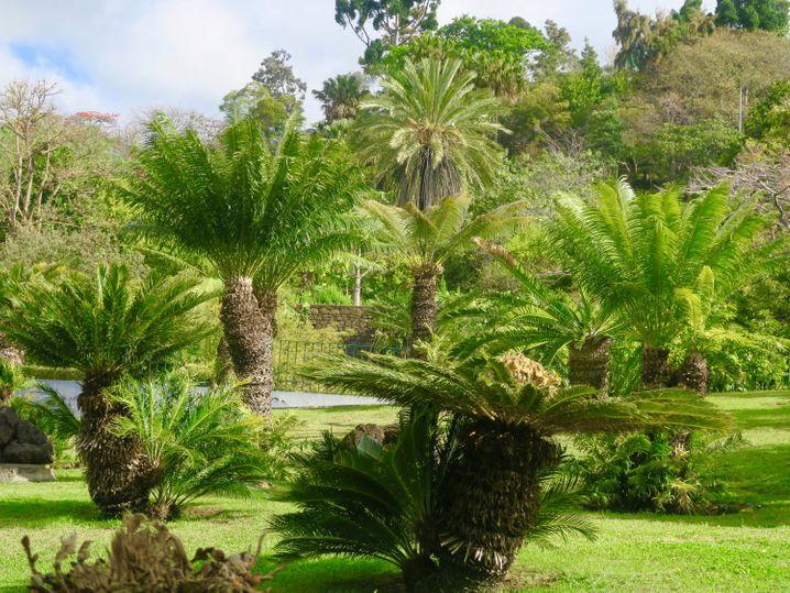 Im Jardim Botânico da Madeira gedeihen auch exotische Pflanzen wie diese tropischen Palmfarne.