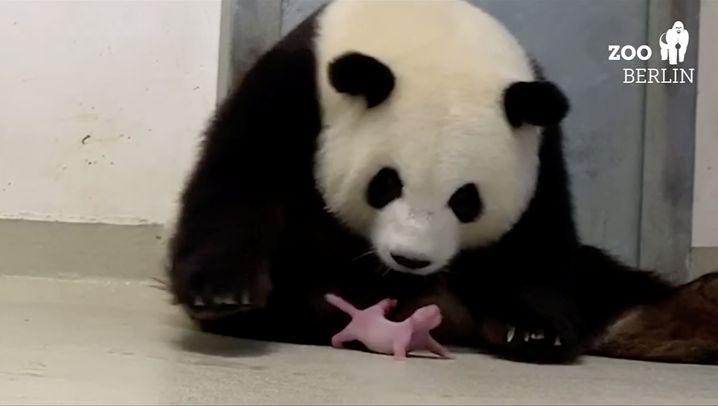 Nachwuchs im Berliner Zoo: Panda-Doppel