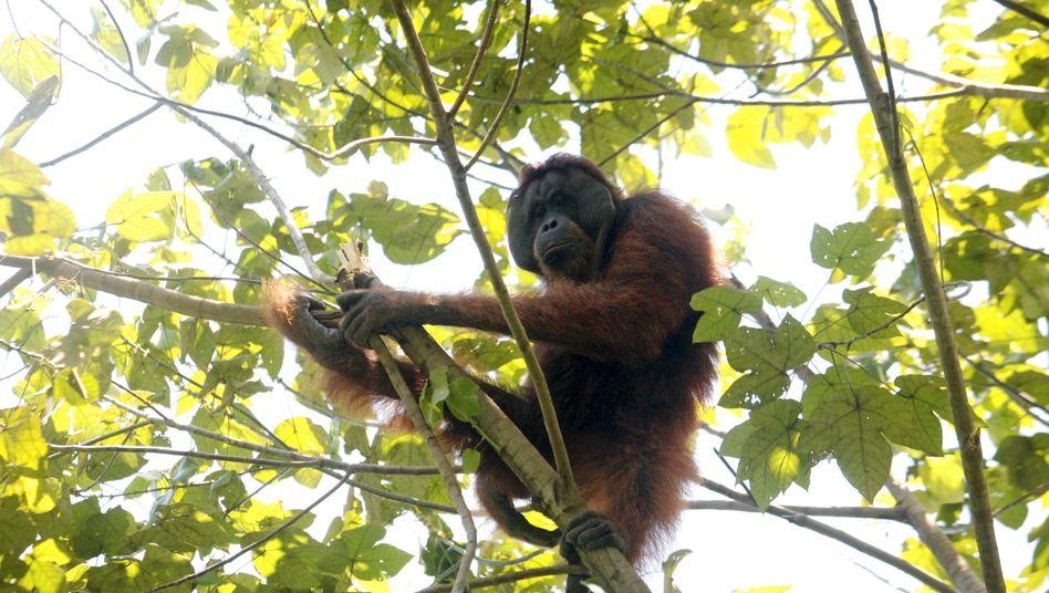Industrie gegen Natur: Die Abholzung von Wäldern zugunsten von Palmöl-Plantagen nehmen vielen Tieren in Indonesien ihren Lebensraum